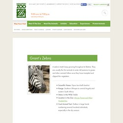 Grant's Zebra - HOUSTON ZOO - NATURALLY WILD