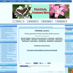 Photos gratuites et libres de droits : Rudbeckia subtomentosa
