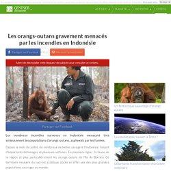 Les orangs-outans gravement menacés par les incendies en Indonésie