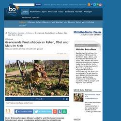 Ortenau Gravierende Frostschäden an Reben, Obst und Mais im Kreis Nachrichten der Ortenau - Offenburger Tageblatt