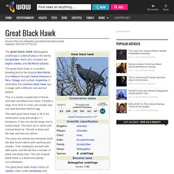 Great black hawk - WOW.com