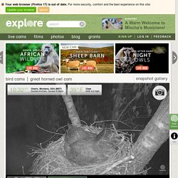 Great Horned Owl - Bird Cams