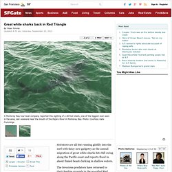 Great white sharks back in Red Triangle