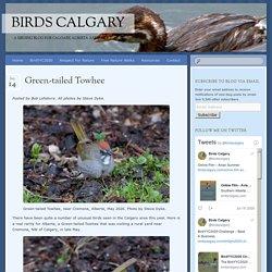 Green-tailed Towhee - Birds Calgary