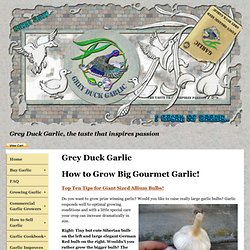 Grey Duck Garlic: How to Grow Big Garlic