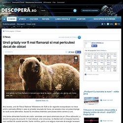 Ursii grizzly vor fi mai flamanzi si mai periculosi decat de obicei