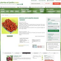 Groseillier à grappes rouges 'Junifer'