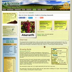 Guide to Growing Amaranth