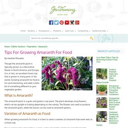 Growing Amaranth: How To Grow Amaranth Plants