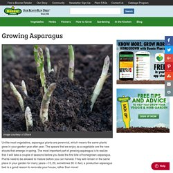 Growing Asparagus - Bonnie Plants