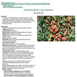 Growing Goji Berries: Lycium barbarum