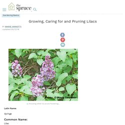 Growing and Caring for Lilac Bushes