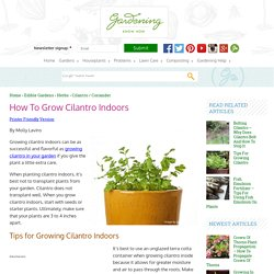 Tips For Growing Cilantro Herbs Indoors
