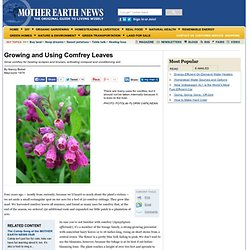Growing and Using Comfrey Leaves
