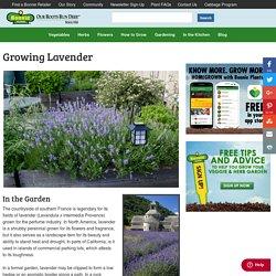 Growing Lavender - Bonnie Plants