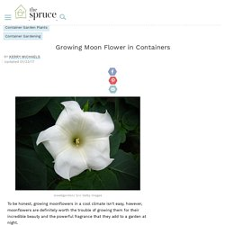Growing Moon Flower in Containers