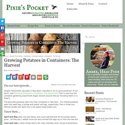 Growing Potatoes in Containers: The Harvest - Pixie's Pocket