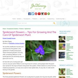 Growing Spiderworts: How To Grow And Care For Spiderwort Plants