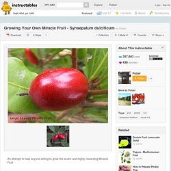 Growing Your Own Miracle Fruit - Synsepalum dulcificum
