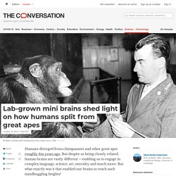 Lab-grown mini brains shed light on how humans split from great apes