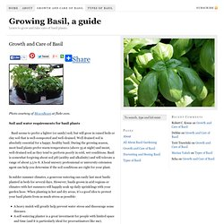 Growth and Care of Basil