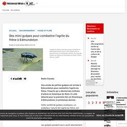 RADIO CANADA 18/06/19 Des mini guêpes pour combattre l'agrile du frêne à Edmundston
