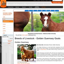 Golden Guernsey Goats — Breeds of Livestock, Department of Animal Science