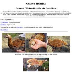 Guinea Hybrids