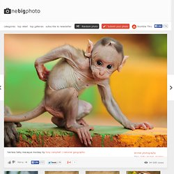 hairless baby macaque monkey photo