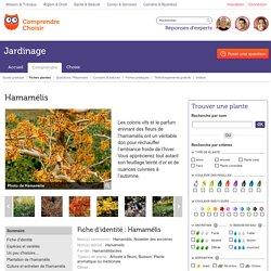 Hamamélis: planter et cultiver les hamamélis