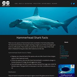 Hammerhead Facts — SEEtheWILD Wildlife Conservation Travel