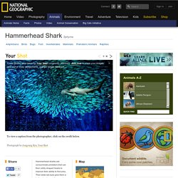 Hammerhead Sharks - Hammerhead Pictures - Shark Facts