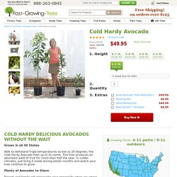 Cold Hardy Avocado Trees for Sale for Sale