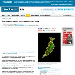 Solar-powered sea slug harnesses stolen plant genes - life - 24 November 2008