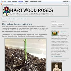 How to Root Roses from Cuttings