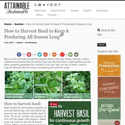 How to Harvest Basil to Keep it Producing All Season Long