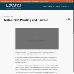 Maize: First Harvest and Planting – Zimbabwe Farm Project