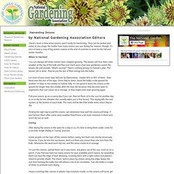 Harvesting Onions (National Gardening Association)