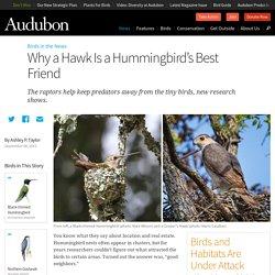 Why a Hawk Is a Hummingbird's Best Friend