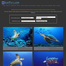Hawksbill Sea Turtle Pictures