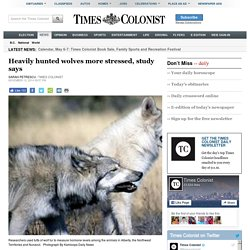 Heavily hunted wolves more stressed, study says