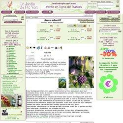 Lierre arbustif, Hedera helix 'Arborescens'