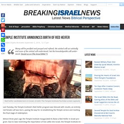 Red Heifer Birth, Paves Way For Renewed Temple Service