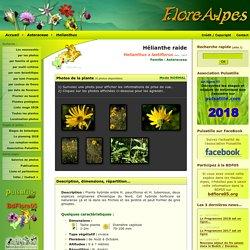 Helianthus x laetiflorus / Hélianthe raide / Asteraceae