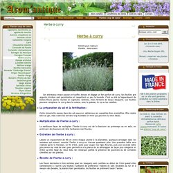 Herbe à curry (helichrysum italicum). Arom'antique. 400 aromatiques bio.