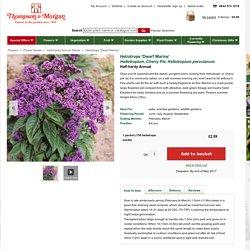 Heliotrope 'Dwarf Marine' - Half-hardy Annual Seeds