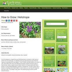 How to Grow: Heliotrope- gardening heliotrope- growing heliotrope