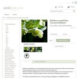 Helleborus argutifolius 'Corsican Hellebore' Seeds