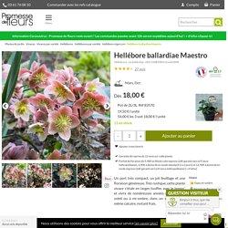 Helleborus (x) ballardiae HGC Maestro - Hellébore hybride compact, aux fleurs joliment fardées de rose.