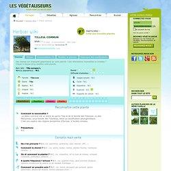Herbier Wiki - Tilleul commun